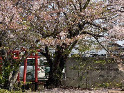 2021洲本ガスの桜~その6~